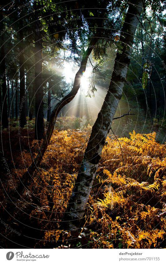 Guten Morgen Umwelt Natur Pflanze Herbst Schönes Wetter Baum Gras Sträucher Farn Wald schön einzigartig nachhaltig gelb gold grün Gefühle Stimmung Wahrheit