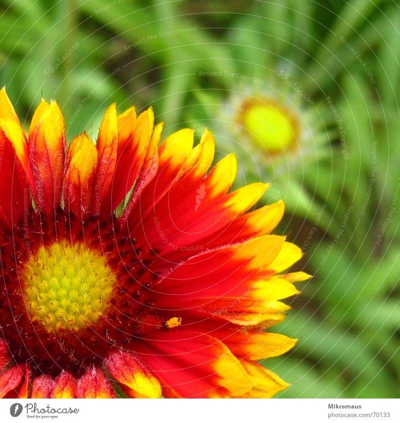 Flowerpower Blume grün rot gelb Blüte Blütenblatt Staubfäden Pollen Pflanze Grünpflanze Garten Wiese Sommer Wachstum Natur Detailaufnahme Park flower