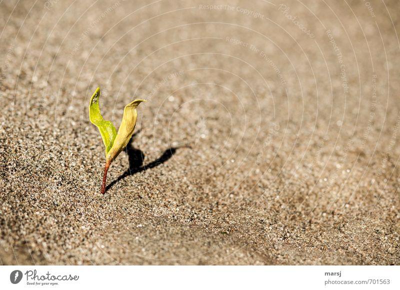 Einzelgänger | mit Schatten Natur Pflanze Sand Frühling Blatt Grünpflanze Wildpflanze Trieb Keim Flussufer Wachstum einfach braun grün Reinheit Beginn