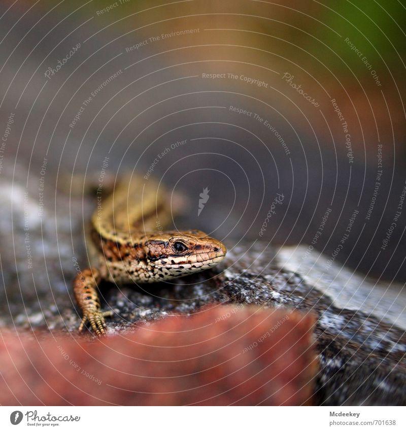 """Die """"Eid""""echse Natur grün weiß Sommer rot Tier schwarz Wald grau klein Stein braun Felsen rosa orange sitzen"""