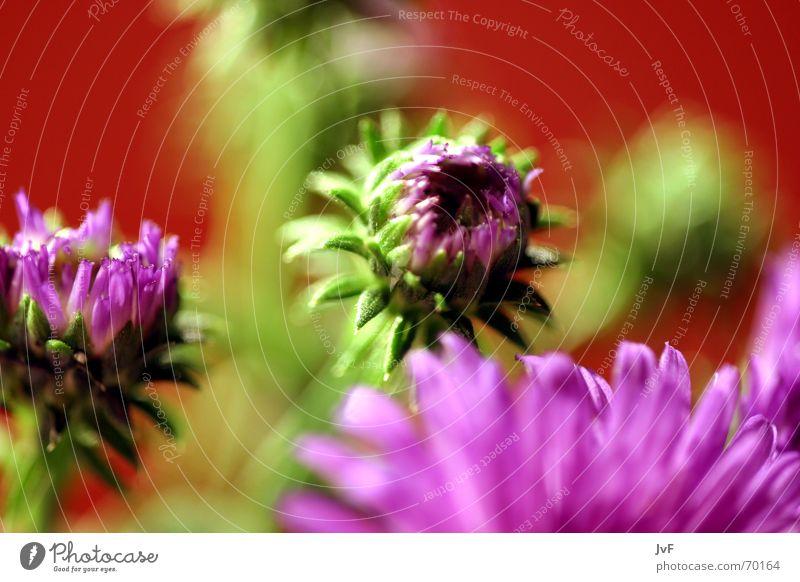 blümschen ;) Blume Blüte violett grün rot Pflanze mehrfarbig knallig Stillleben Freude Farbe