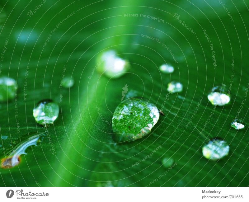 heavenly tears (7) Umwelt Natur Pflanze Wasser Wassertropfen Sommer Schönes Wetter Blume Blatt Grünpflanze Wildpflanze Park authentisch exotisch kalt nass
