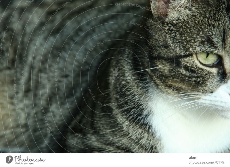 viel katze Auge Tier grau Katze Fell Haustier gestreift ernst