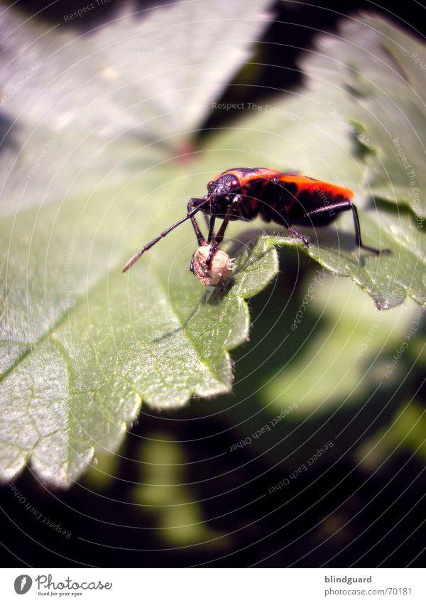Pyrrhocoris apterus Natur rot Blatt Garten Frühling Beine Flügel Ball Insekt Kugel drehen Sammlung Rolle Schiffsbug Plage Wanze