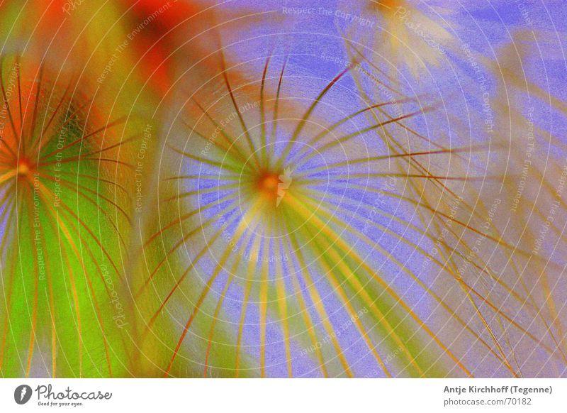 kleine Pusteblume Natur Sonne Blume Sommer Wiese Löwenzahn skurril bizarr