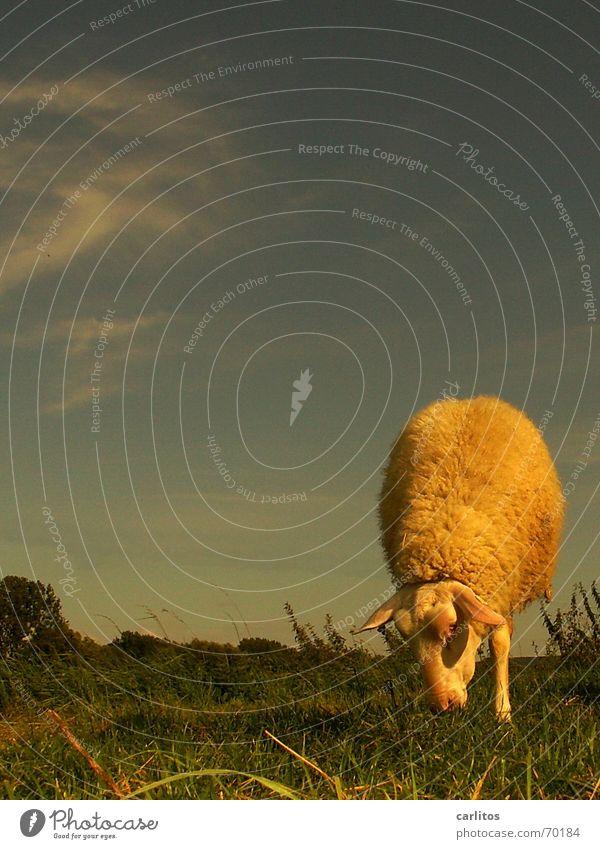 wer erinnert sich noch Tier Ernährung Weide Schaf Turnen Zirkus talentiert Handstand Leineschaf