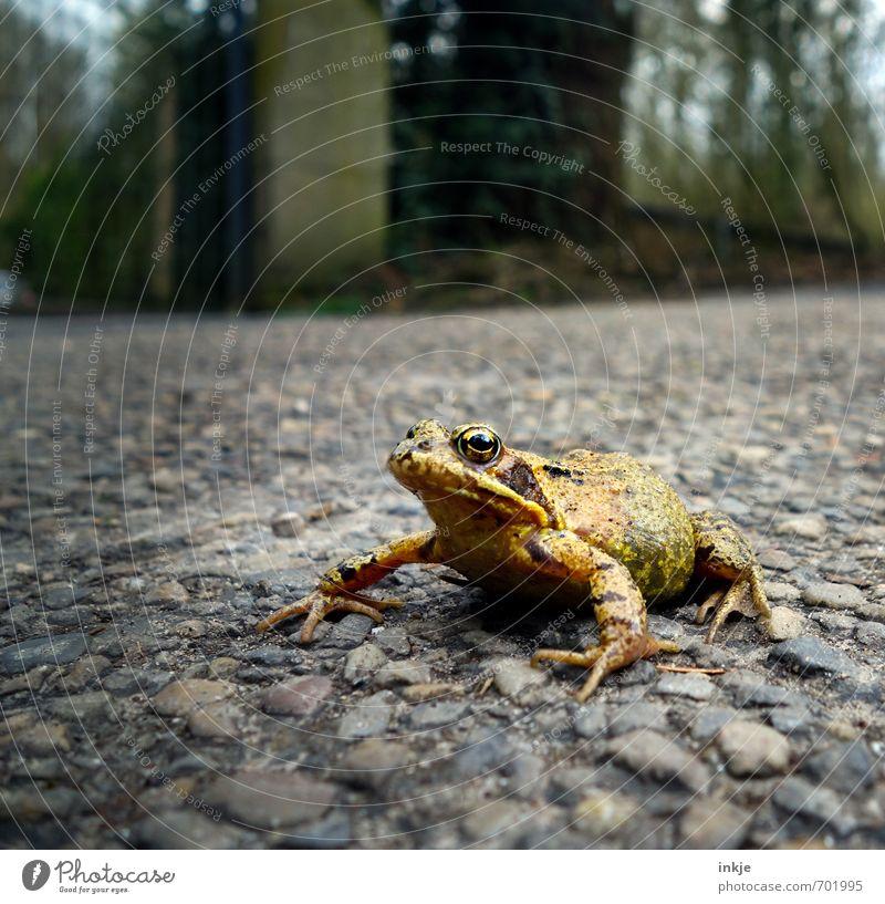 Der verzauberte Prinz   echt Umwelt Natur Frühling Garten Park Verkehr Verkehrswege Straße Wege & Pfade Tier Wildtier Frosch 1 hocken authentisch Ekel nah