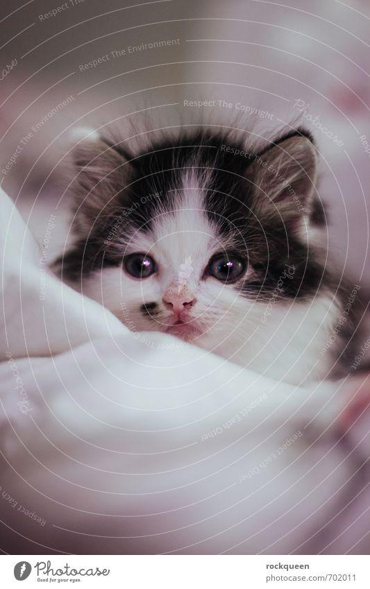 Heia Bubu Katze schön weiß Tier Tierjunges Liebe klein hell rosa träumen glänzend leuchten ästhetisch beobachten Warmherzigkeit niedlich