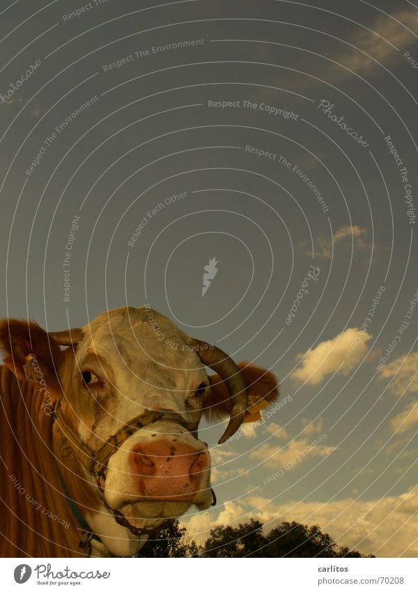unser täglich Edith ... Kuh Rind Bulle Wolken Landwirtschaft dumm klug Tier fliegen auf der nase Horn Himmel Blick