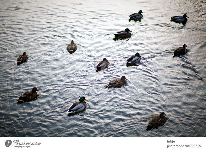 Ok, lasst uns abhaun, Hier passiert heut nix mehr. Natur Tier Wasser Frühling Sommer Herbst Wellen Teich See Wasseroberfläche Ententeich Stockente Entenvögel