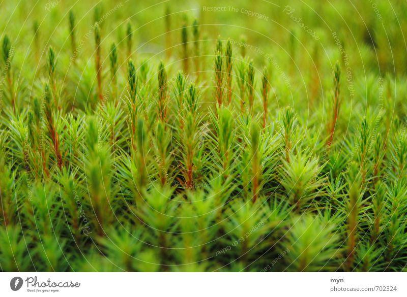 Mooswald Umwelt Natur Pflanze Herbst Winter Gras Grünpflanze Wildpflanze Wiese Wald Moor Sumpf ästhetisch Glück ruhig Vergänglichkeit Laubmoos Moosteppich