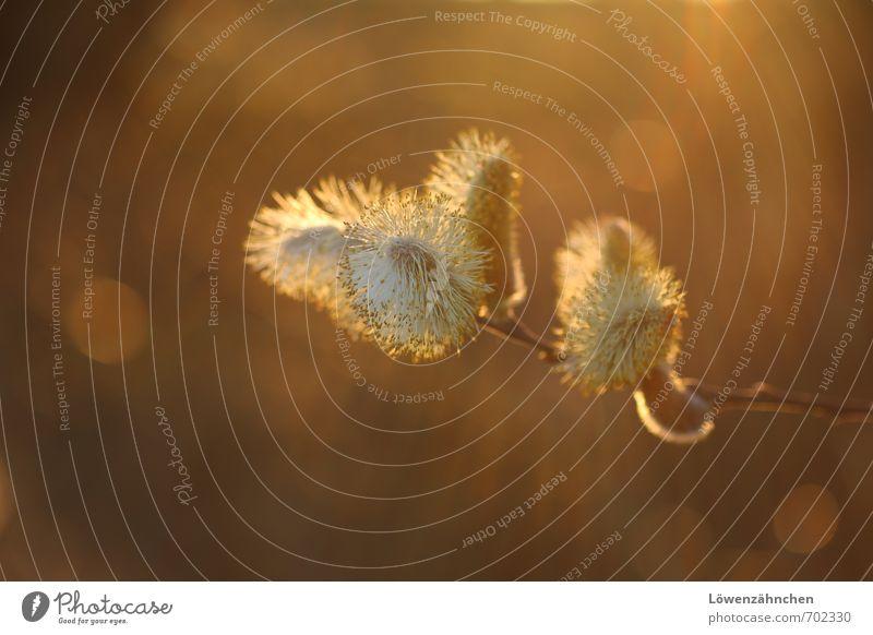 Kätzchenmagie Natur Pflanze Frühling Schönes Wetter Baum Blüte Wildpflanze Weide Weidenkätzchen Sal-Weide Blühend leuchten hell klein natürlich schön Wärme