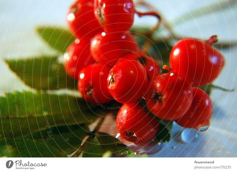 Nicht giftig! Wasser Baum rot Pflanze Sonne Blatt Herbst Garten Wassertropfen Sträucher Beeren Frucht Vogelbeeren Vogelbeerbaum