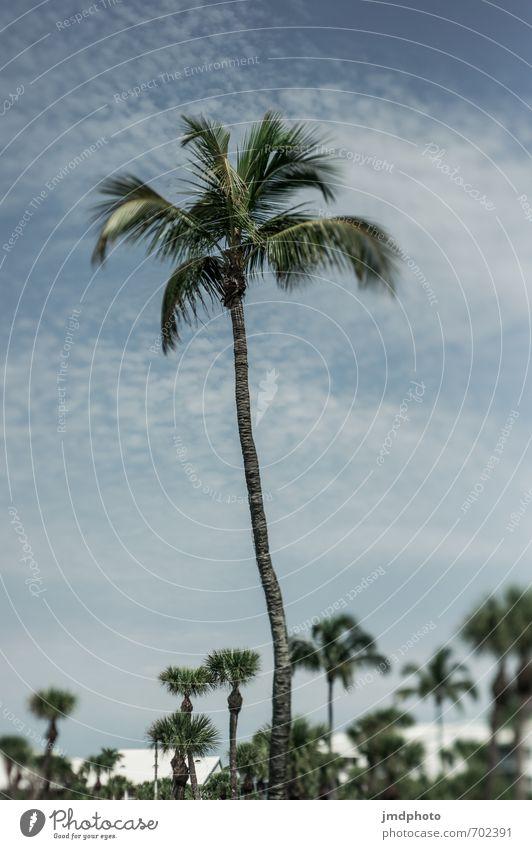Mama Palme mit Kindern Umwelt Natur Landschaft Pflanze Himmel Wolken Sommer Klima Schönes Wetter Baum Blatt Wildpflanze exotisch Palmenstrand Palmenwedel Küste