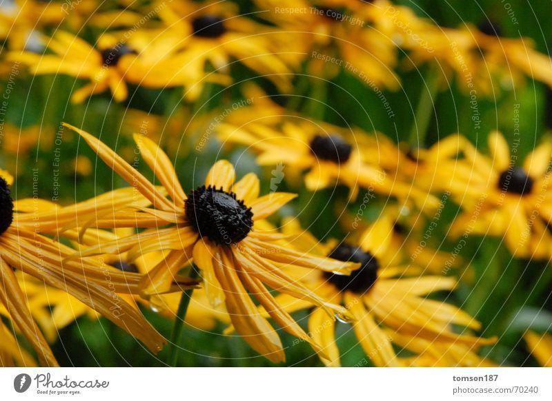 blumenkoller Blume gelb Wiese Regen Honig