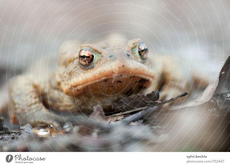 kröte Natur Tier Umwelt Auge Frühling grau braun Erde sitzen Wildtier warten beobachten Neugier Wachsamkeit Frosch Ekel