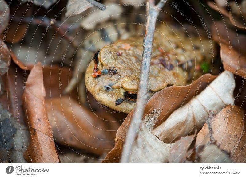 Die Kröte und ihr blinder Passagier Umwelt Natur Tier Erde Frühling Blatt Wildtier Frosch 1 Essen sitzen warten Ekel hässlich schleimig braun Schutz