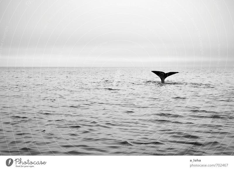 whale rider Himmel Natur Ferien & Urlaub & Reisen Wasser Meer Einsamkeit Tier Ferne Umwelt Bewegung Schwimmen & Baden außergewöhnlich elegant Wildtier Urelemente tauchen