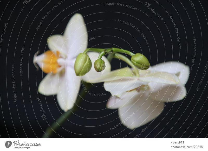 orchidee Blüte Garten Wachstum Asien Blütenknospen Geburt zerbrechlich entstehen Reifezeit Vor dunklem Hintergrund