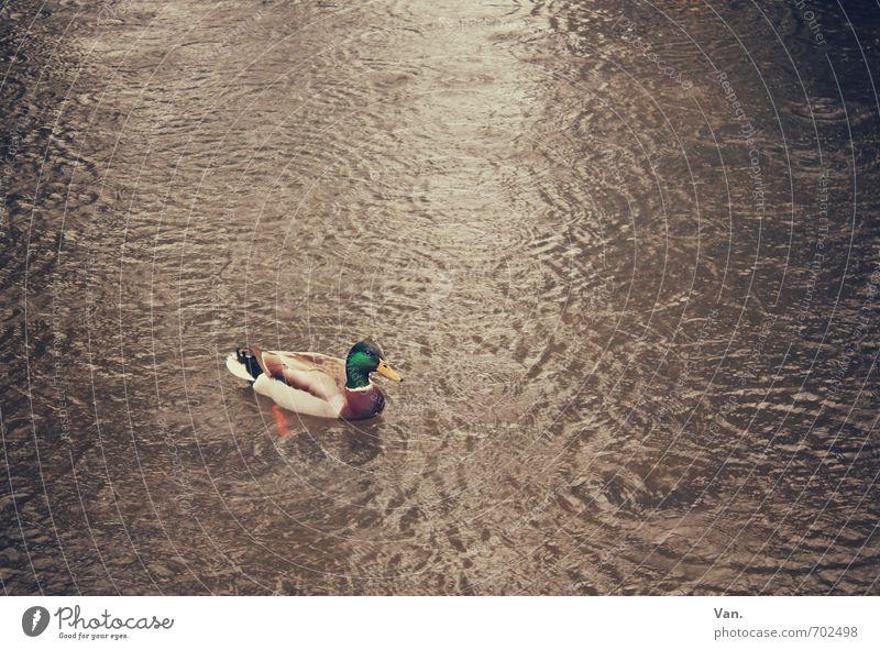 Ente Ente Ente Natur Tier Wasser Herbst See Wildtier Vogel Erpel 1 Schwimmen & Baden braun Farbfoto Gedeckte Farben Außenaufnahme Menschenleer Textfreiraum oben