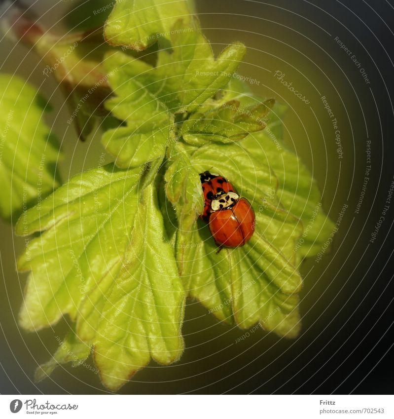 aktive Familienplanung Natur Tier Blatt Wildtier Käfer Marienkäfer 2 Liebe Sex grün rot Zusammensein Tierliebe Lust Sexualität Fortpflanzung