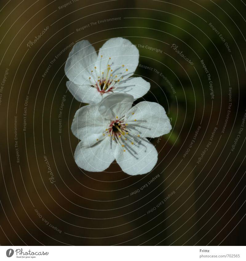Die Zwei Natur Pflanze Frühling Blüte Blühend hell braun grün weiß schön Baumblüte Farbfoto Außenaufnahme Textfreiraum unten Schwache Tiefenschärfe