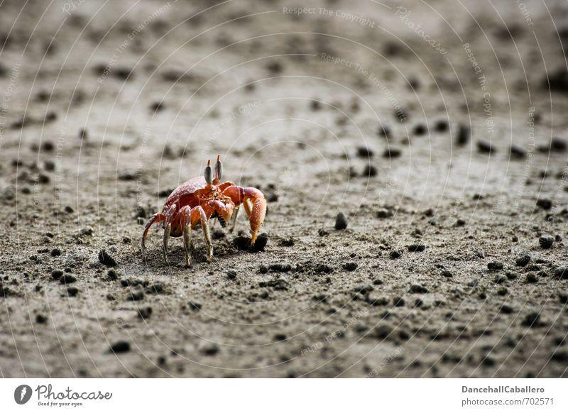 Strandkrabbe Natur Ferien & Urlaub & Reisen Sommer Meer rot Tier Umwelt Küste Sand Erde Ausflug Lebewesen Expedition maritim Schere