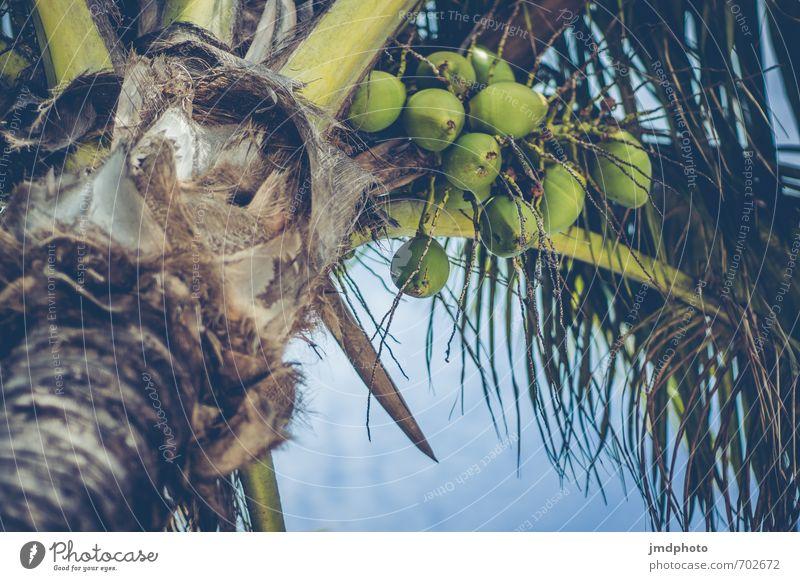 Palms Umwelt Natur Pflanze Himmel Wolken Sommer Schönes Wetter Baum Blatt Nutzpflanze Wildpflanze exotisch Palme Palmenwedel Palmenstrand Kokosnuss Kokospalme