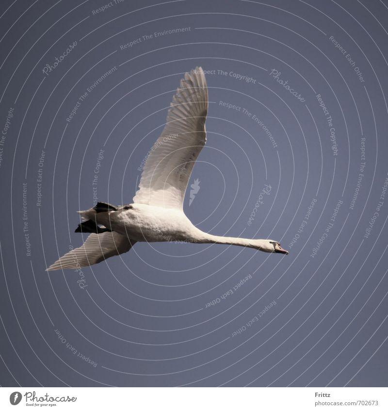 Flieger Natur Tier Luft Himmel Wildtier Vogel Schwan Flügel 1 fliegen oben violett weiß Höckerschwan fliegend Farbfoto Außenaufnahme Textfreiraum unten Tag