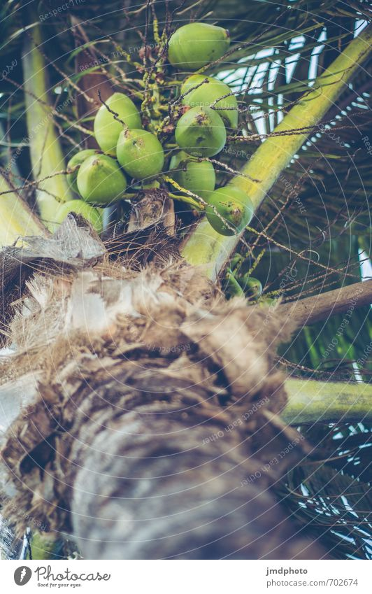 Palms #2 Umwelt Natur Pflanze Sommer Schönes Wetter Baum Blatt Grünpflanze Nutzpflanze Wildpflanze exotisch Blühend Duft Erholung Essen hängen grün Kokosnuss