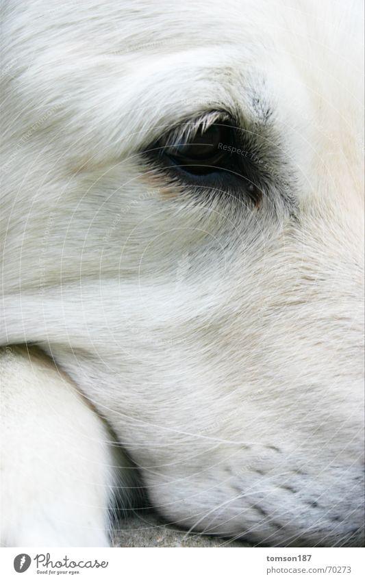augen-blick weiß Hund Sehnsucht Tier Golden Retriever