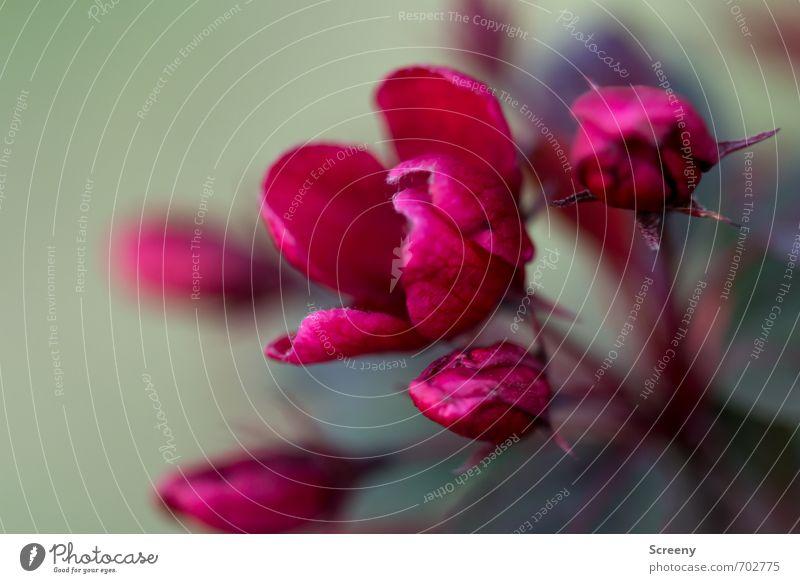 Die Besondere... Natur grün Pflanze Baum rot ruhig Blatt Frühling Blüte Park elegant Wachstum Blühend Gelassenheit Duft geduldig