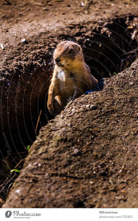 Frühlingsanfang - Das Murmeltier erwacht Zoo Umwelt Natur Sommer Herbst Feld Tier Wildtier Nagetiere Biber 1 braun Frühlingsgefühle Warmherzigkeit ruhig