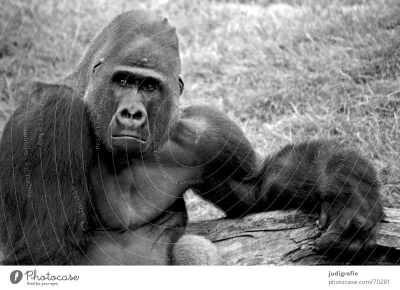 Gorilla maskulin Zoo Tier Fell Traurigkeit schwarz Trauer Verzweiflung Ärger Affen Säugetier Menschenaffen gefangen Charakter Schwarzweißfoto Blick