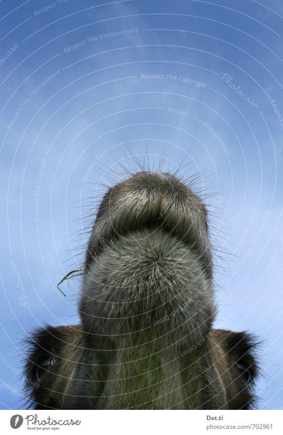 300 | dummer ne Klore! Himmel Tier Nutztier Wildtier Tiergesicht Fell 1 Blick lustig skurril Kamel Maul Barthaare Auge Aussicht weich Dromedar Kiefer Wimpern