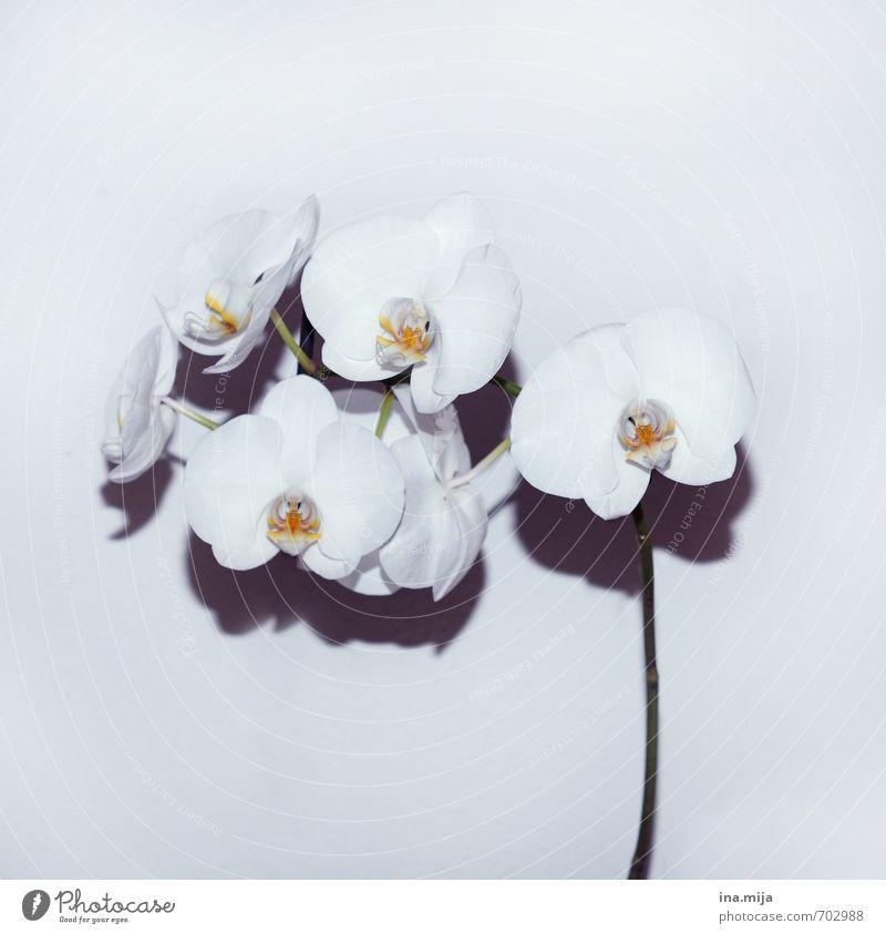 geblitzt Umwelt Natur Pflanze Orchidee Blüte Topfpflanze exotisch Blühend Wachstum weiß Farbe Reichtum Zimmerpflanze Orchideenblüte Lebewesen Blütenpflanze zart