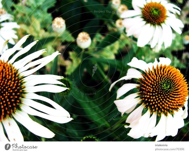 Gartentraum Blume Blüte weiß gelb grün Mohn träumen Außenaufnahme Sonnenhut Detailaufnahme Pflanze