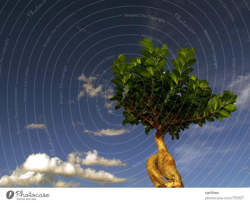 alles eine Frage der Perspektive Himmel Baum blau Wolken klein Bonsai Feige