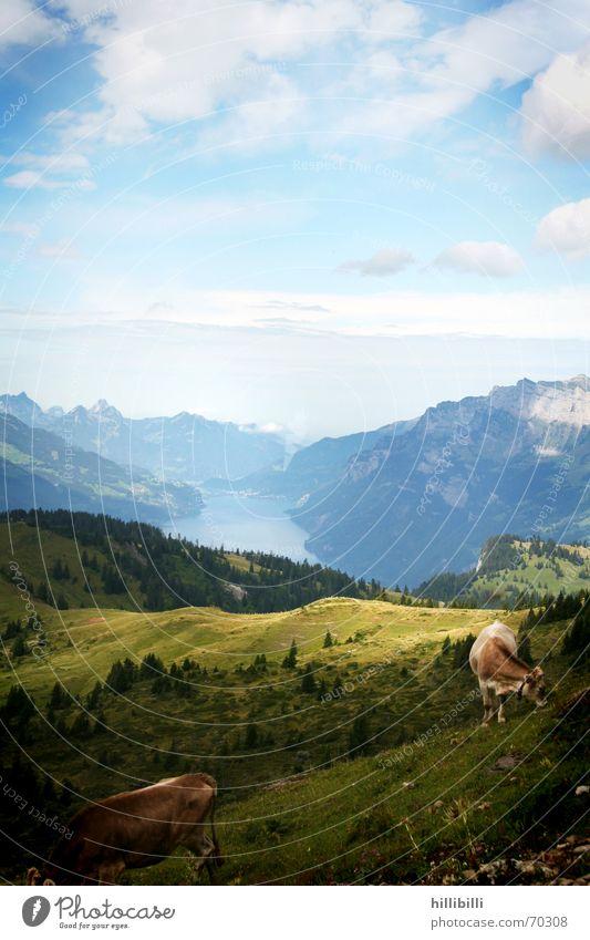 Alp Himmel Wolken Wiese Berge u. Gebirge See Schweiz Kuh Weide Alm Walensee
