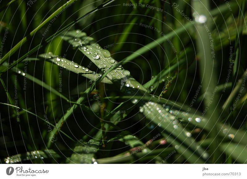 Tautropfen grün Sommer schwarz Gras nass Wassertropfen Tau durchsichtig