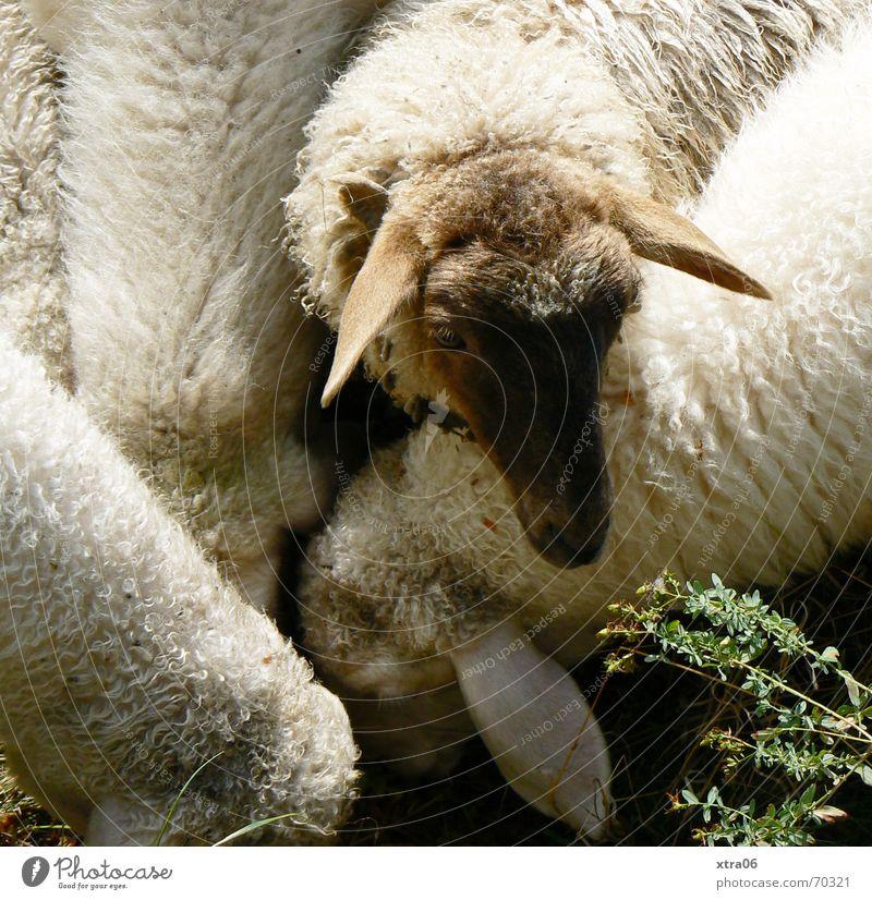 Lasst mich doch auch mal ran... Schaf Schafherde Fressen unfair süß niedlich Frieden weich Fell Trauer Sommer Säugetier weiße schafe fütterungszeit aussperren