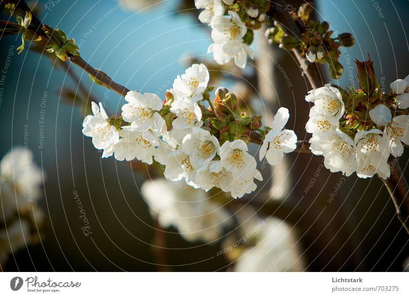 Frühling Ferien & Urlaub & Reisen Tourismus Umwelt Natur Pflanze Baum Garten Park ästhetisch hell blau weiß Blüte Frühlingstag Frühlingsfarbe Farbfoto