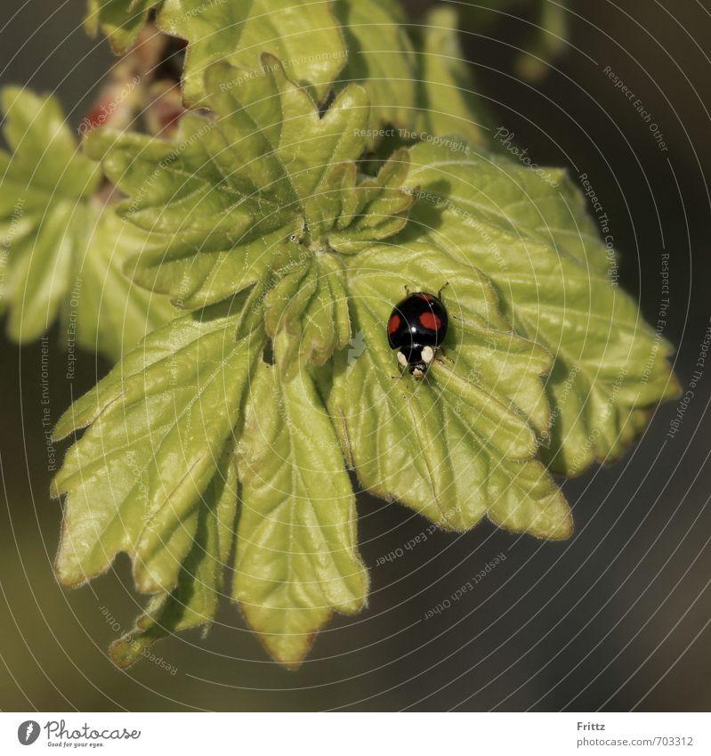 .. schwarz mit roten Punkten .. Natur Pflanze Tier Blatt Wildpflanze Wildtier Käfer Marienkäfer 1 krabbeln klein grün rot gepunktet Farbfoto Außenaufnahme