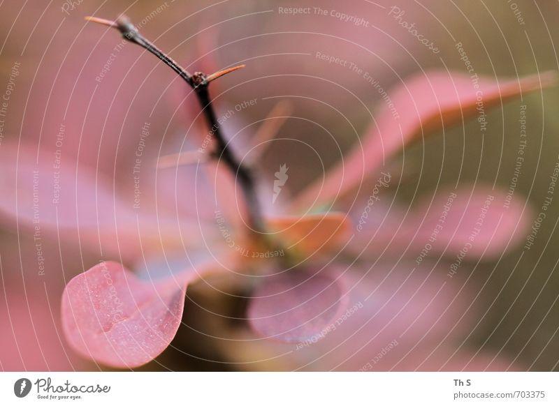 Pflanze Umwelt Natur Blühend Wachstum ästhetisch authentisch elegant frisch Gesundheit natürlich schön rosa Lebensfreude Frühlingsgefühle Kraft Romantik