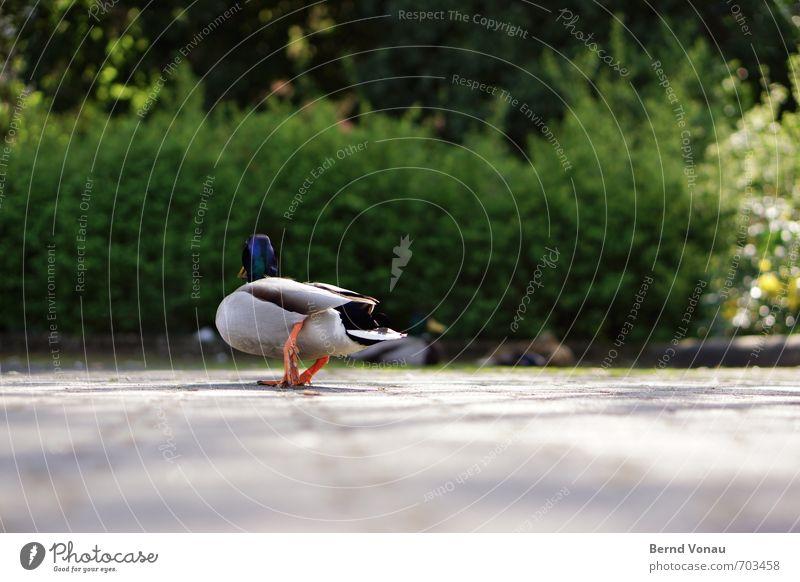 Entsetzlich Ente 3 Tier hell blau grau grün schwarz weiß watscheln Federvieh Parkplatz blockieren gehen Sommer Perspektive Pflastersteine Parkbucht Stadtzentrum