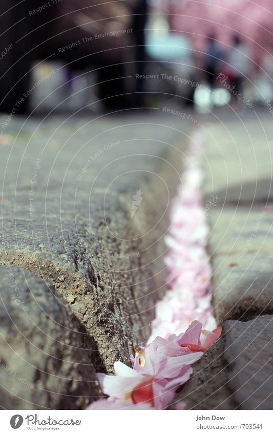 Kirschblüten Hanami (II) Frühling Baum Blüte Straße Wege & Pfade grau rosa Frühlingsgefühle Idylle Stadt Vergänglichkeit Wachstum Wandel & Veränderung Fußgänger