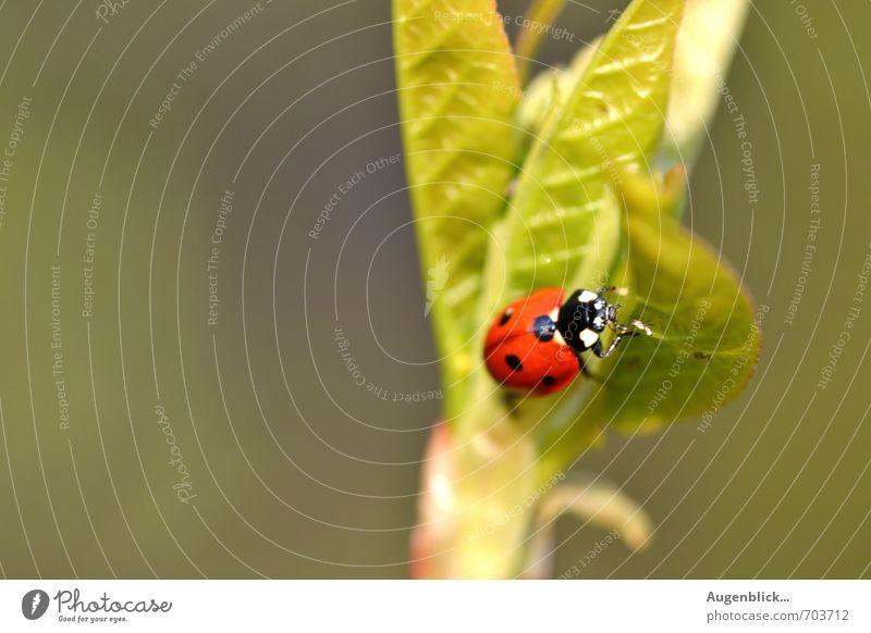 Glückskäfer... grün schön rot Tier Gesundheit Freundschaft glänzend Zufriedenheit Käfer Marienkäfer