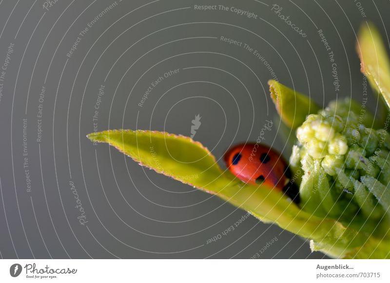 gepunktet... Frühling Schönes Wetter Käfer Marienkäfer 1 Tier Müdigkeit Heimweh Zufriedenheit Makroaufnahme Sonnenlicht