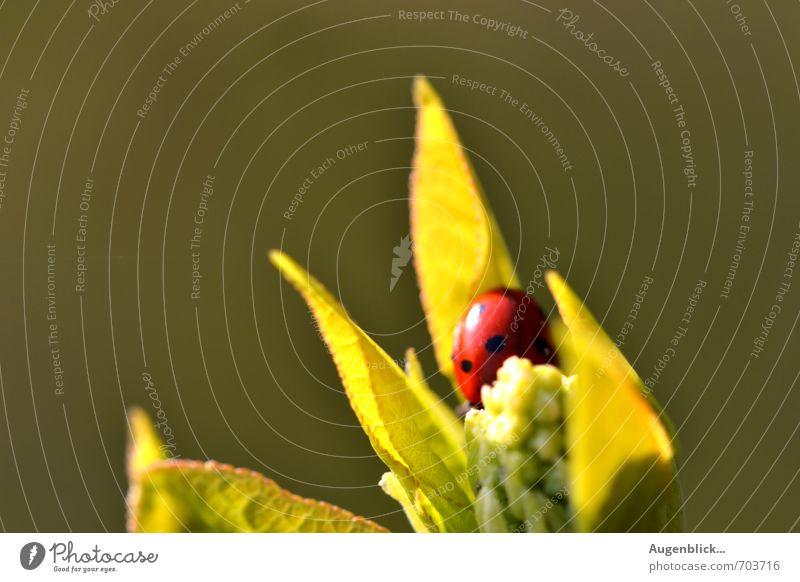 ...versteckt... Marienkäfer 1 Tier glänzend grün rot Frühlingsgefühle Müdigkeit ruhig Zufriedenheit Makroaufnahme Sonnenlicht