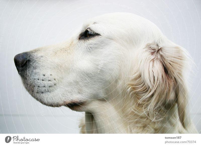 oh der postbote weiß Hund Fell Schnauze Tier Seitenblick